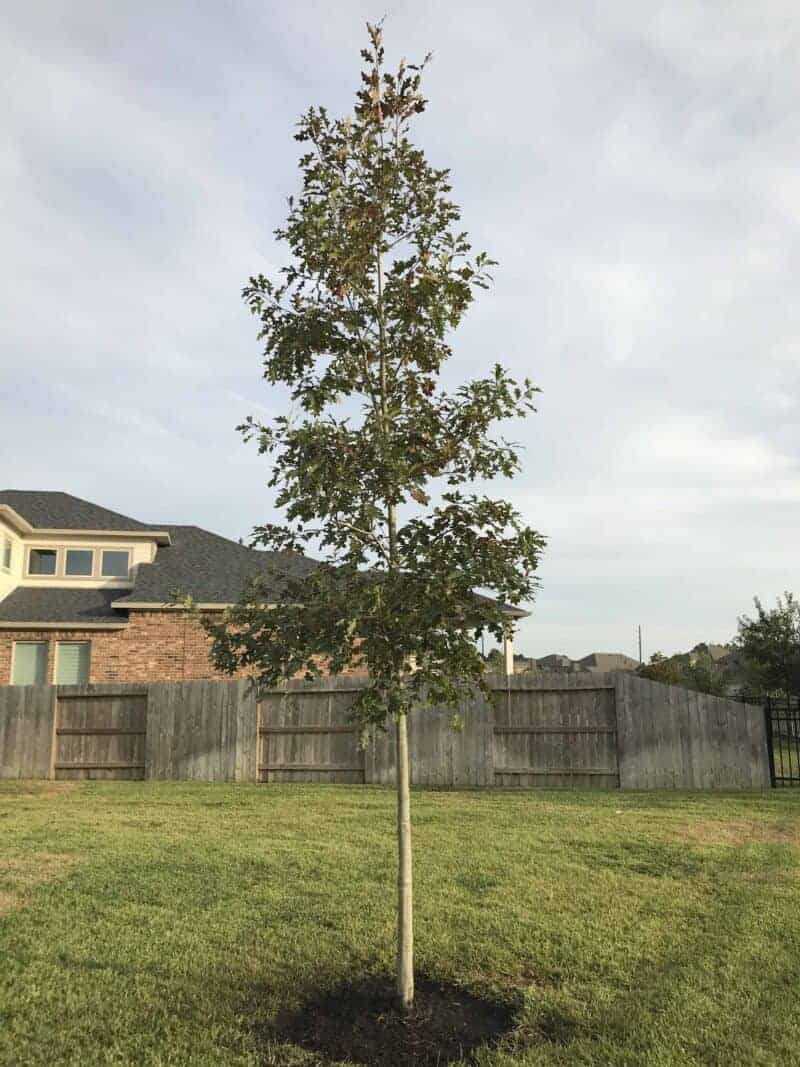 red oak tree houston
